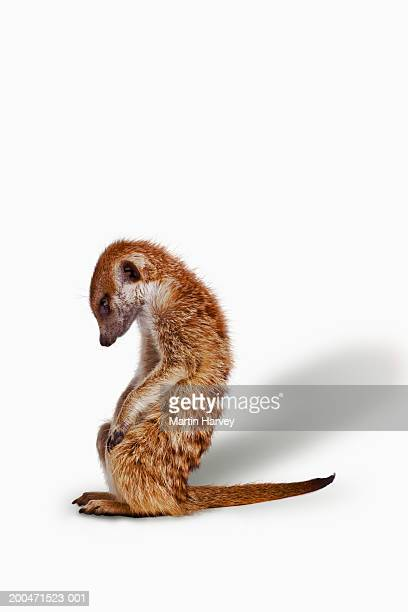 Meekat (Suricata suricatta) sitting on hind legs, white background