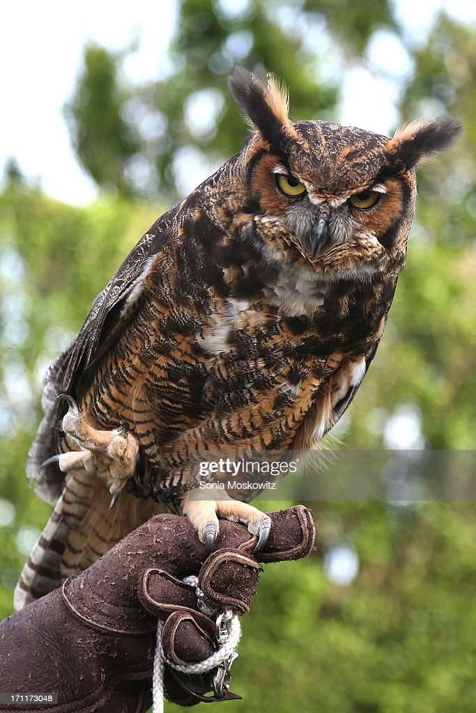 Meep, the Great Horned Owl at the Get Wild Event Benefiting Evelyn Alexander Wildlife Rescue Center at Private Residence on June 22, 2013 in Southampton, New York.
