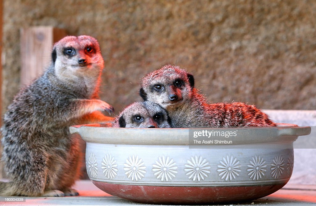 Meercats are seen in an earthen pot which a heater is set at the bottom, at Kujukushima Zoological and Botanical Garden Morikirara on Janaury 11, 2013 in Sasebo, Nagasaki, Japan. Meercats have the habit of forming huddles in narrow space and of letting one stand guard outside.
