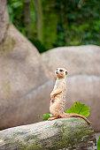 Meerkat at Singapore zoo