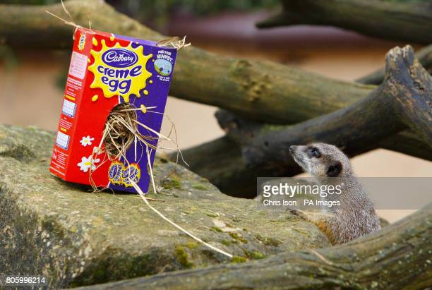 A meerkat examines an Easter themed treat at Marwell Wildlife Park near Winchester They were given papier mache eggs containing tasty treats of...