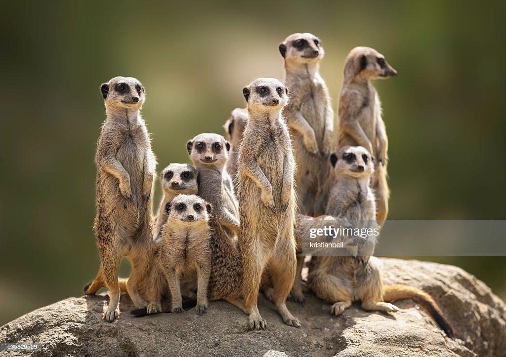 Meerkat family on lookout : Stock Photo