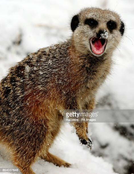 A meerkat in the snow at Twycross Zoo Leicestershire