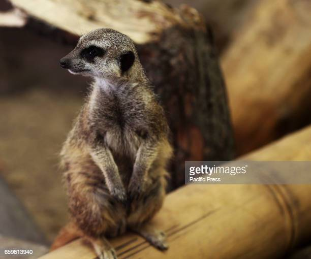 A meerkat is seen at the Warsaw Zoo on March 28 2017