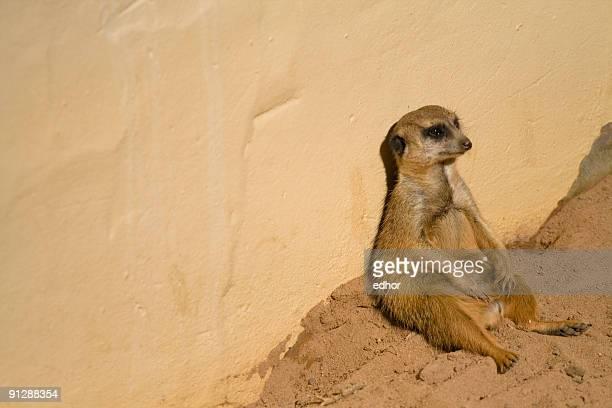Meerkat looking bored