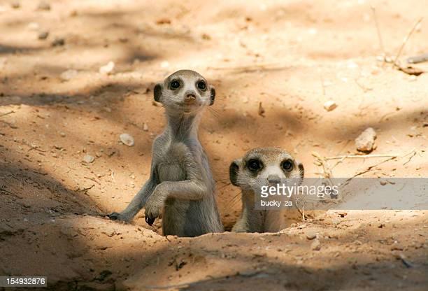 Meerkat mother and pup in there burrow, natural kalahari habitat