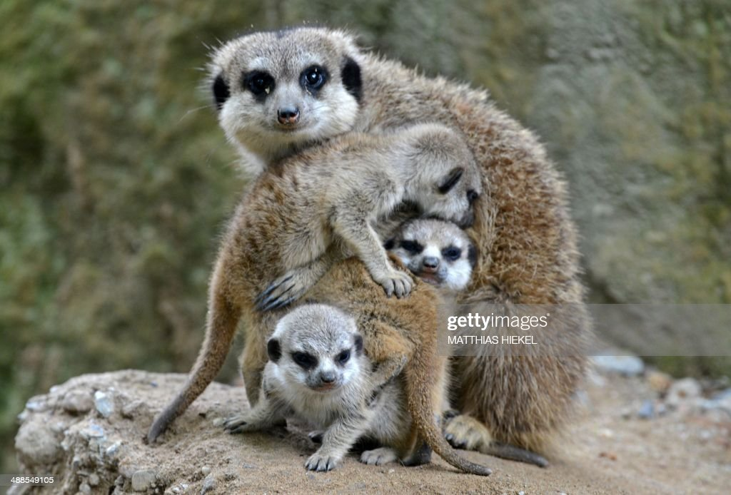 Meerkat mother Hilde and her offspring are pictured at the zoo in Dresden, eastern Germany, on May 7, 2014. AFP PHOTO / DPA / MATTHIAS HIEKEL / GERMANY OUT