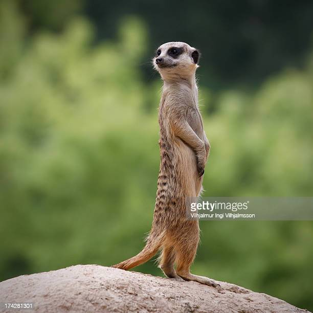 Meerkat on sentry duty