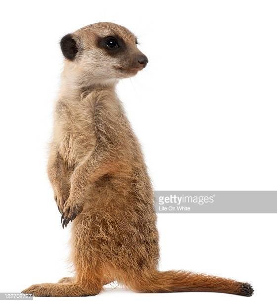 Meerkat or Suricate - Suricata suricatta