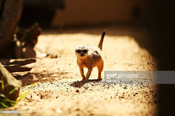 Meerkat plays at Taronga Zoo on December 4 2015 in Sydney Australia Taronga's animals were given special Christmasthemed enrichment treats and...