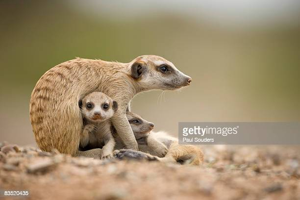 Meerkat Pups with Adult, Namibia