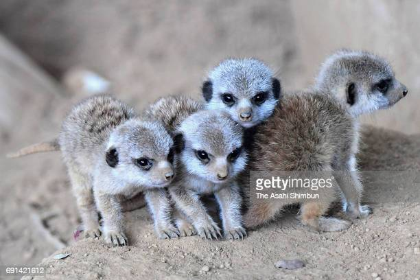 Meerkat quadruplets are seen at Chiba Zoological Park on June 1 2017 in Chiba Japan The quadruplets were born end of last month