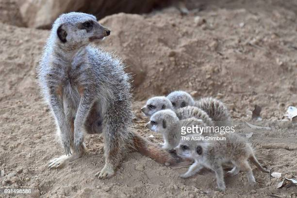Meerkat quadruplets follow their mother Maru at Chiba Zoological Park on June 1 2017 in Chiba Japan The quadruplets were born end of last month