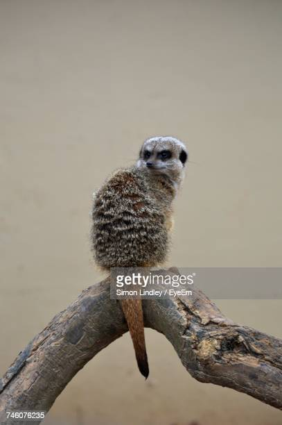 Meerkat Sitting On Wood In Zoo