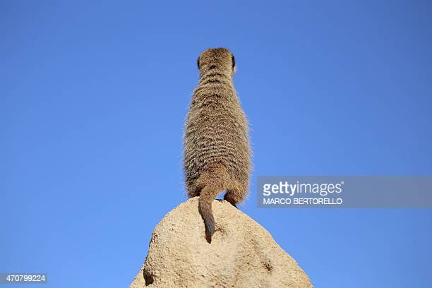 A meerkat stands on a rock at Zoom Torino a zoological park in Cumiana near Turin on April 22 2015 AFP PHOTO / MARCO BERTORELLO