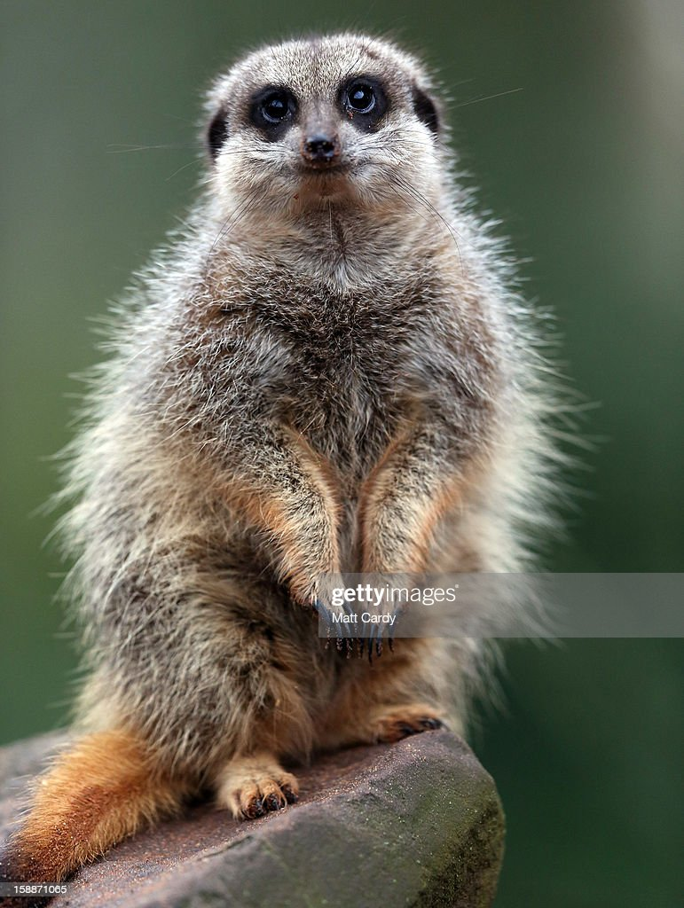 A meerkat watches as Sarah Hall counts them as part of the annual stock take at Bristol Zoo on January 2 2013 in Bristol England The annual animal...