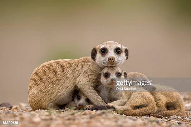 Meerkat with Pups, Namibia