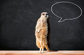 """Portrait of a meerkat standing and looking alert against blackboard with chalk speech bubble.  Funny """"back to school"""" concept."""