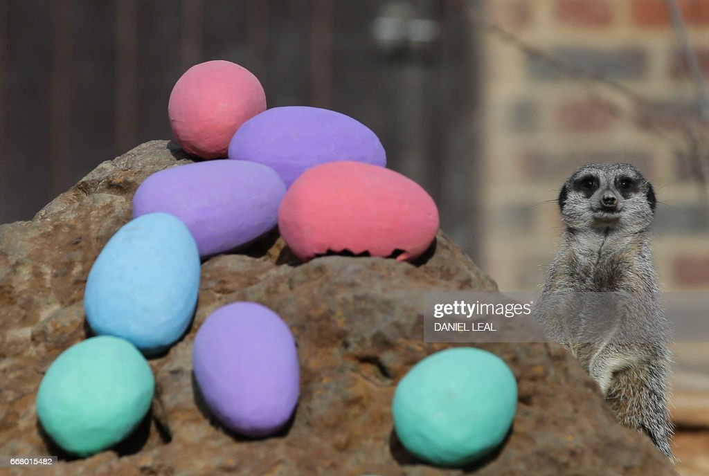 TOPSHOT - Meerkats are given an Easter treat during a photocall at London Zoo in central London on April 13, 2017. / AFP PHOTO / Daniel LEAL