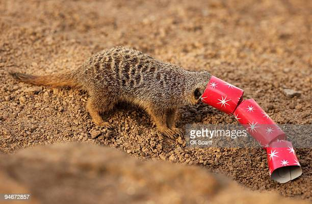 Meerkats at ZSL London Zoo receive an early Christmas gift from their keepers of homemade crackers filled with meal worms and locusts on December 17...