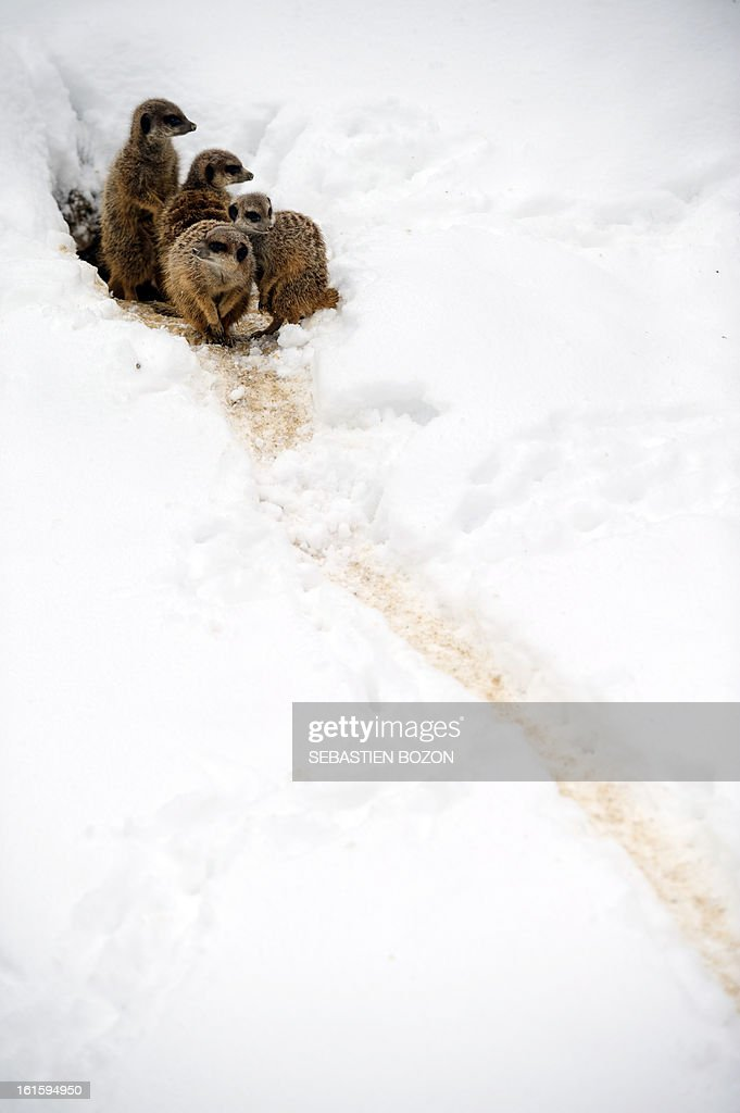 Meerkats come out of their den at the Mulhouse zoo on February 12, 2013. Heavy snowfall hit large parts of France this weekend putting the country under a picturesque blanket of white stuff but causing major disruptions to air, road and rail transport. BOZON