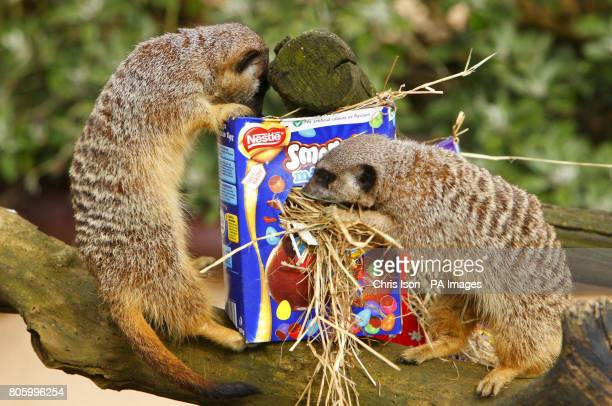 Meerkats examine an Easter themed treat at Marwell Wildlife Park near Winchester They were given papier mache eggs containing tasty treats of banana...