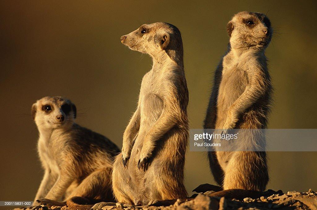 Meerkats (Suricata suricatta) guarding warren entrance : Stock Photo