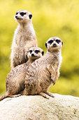 Three meerkats standing on rock protecting herd