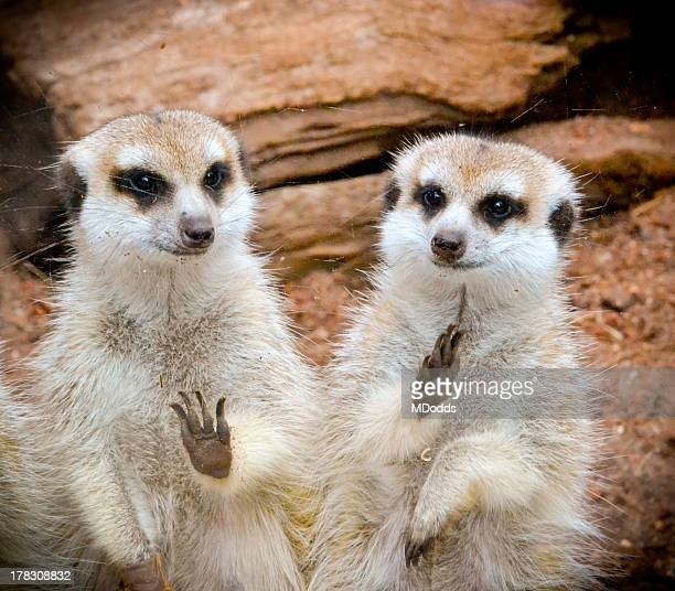 Colour photograph of two Meerkats waving.