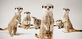 A studio shot of a group of meerkats