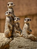 Four meerkats stood in upright pose, three looking toward camera and one looking away.