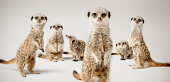 A group of meerkats