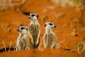 Meerkats are a social burrowing animal common in the Kalahari.