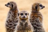 Three Meerkats on patrol