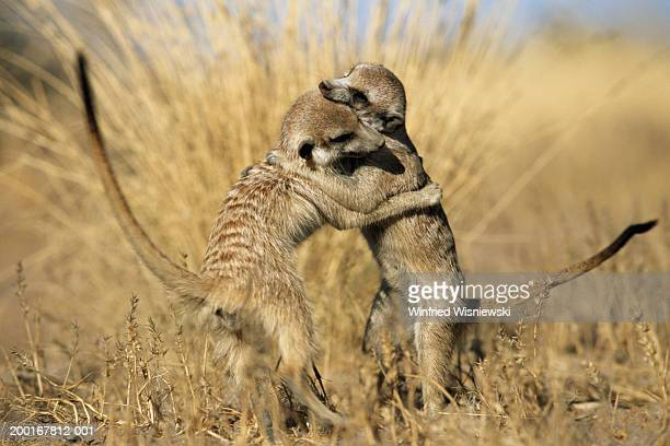 Meerkats (Suricata suricatta) playing