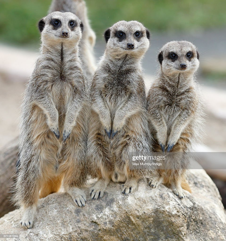 Meerkats seen at the Wild Place Project at Bristol Zoo on April 14, 2016 in Bristol, England.