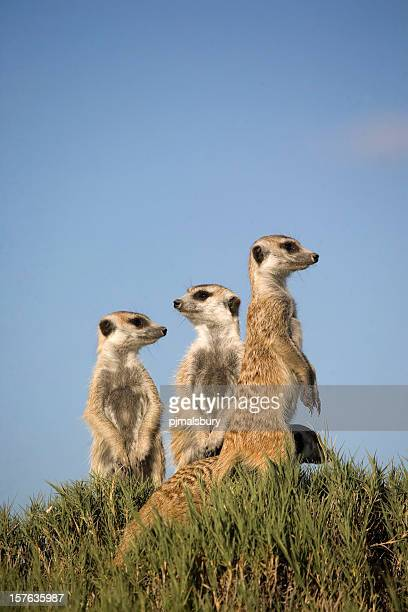 3 meerkats standing sentry with one lower on grassy hillock