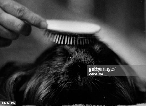 Meet 'Crispy Critter' A 3YearOld Guinea Pig Getting His Hair Brushed He Also Mountain Cavy Club Credit Denver Post