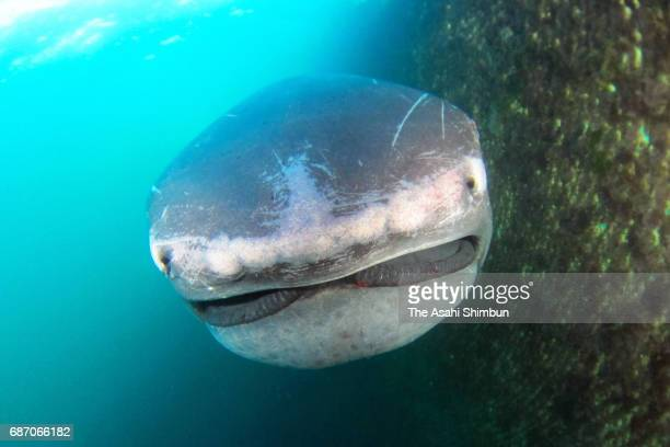 A megamouth shark is seen on May 22 2017 in Tateyama Chiba Japan The deepwater shark is rarely seen caught in a fixed fishing net off Chiba Prefecture