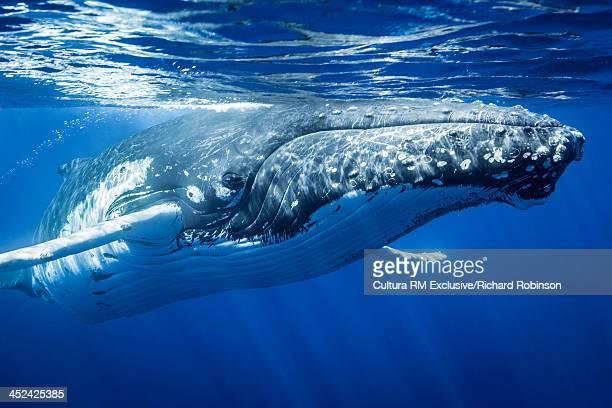 Megaptera novaeangliae (Humpback Whale), Vava'u Island Group, Tonga