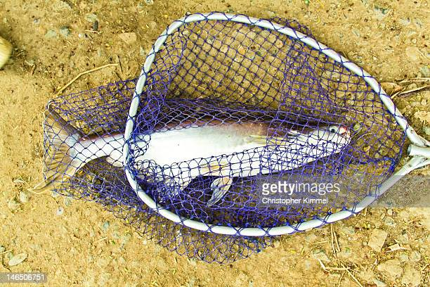 Mekong catfish in net