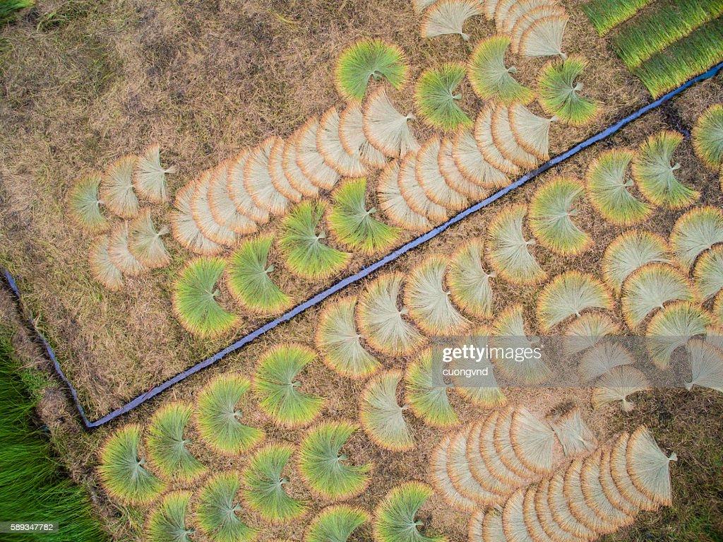 Mekong delta landscape from above - Sedge mat field
