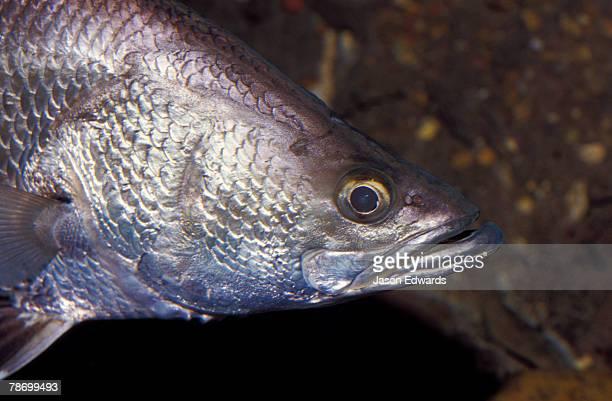 A Barramundi Fish swims beneath the surface of a still Billabong.