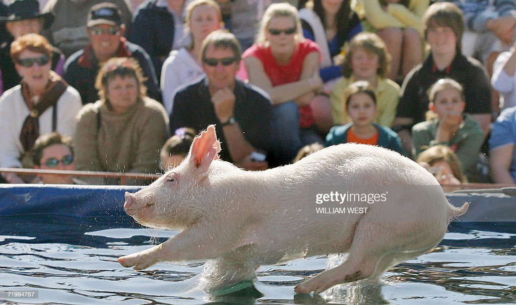 The pig races at the royal melbourne show getty images for Pool show melbourne