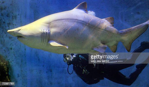 Georgie an overweight eightyearold grey nurse shark is inspected by diver Colin Ong at the Melbourne Aquarium 02 October 2006 Weighing in at an...