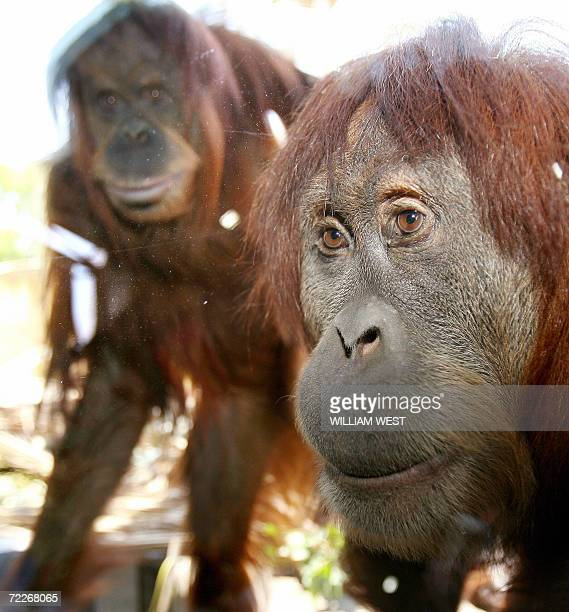 Two orangutans look in at the proceedings through glass as Melbourne Zoo opens it new 65 million dollar orangutan enclosure 26 October 2006 The...