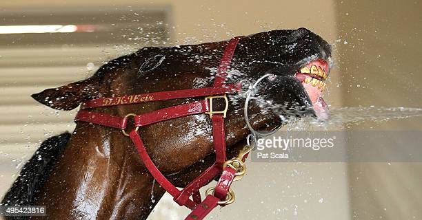 Melbourne Cup winner Prince of Penzance is cooled down back in the raceday stables after The Melbourne Cup at Flemington Racecourse on November 3...