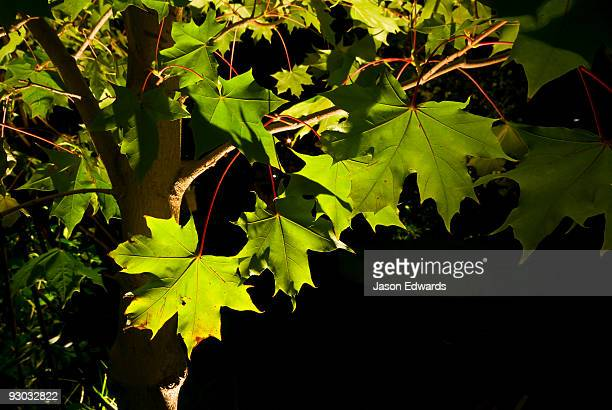 Ornamental lighting illuminates leaves in the canopy of a Red Maple.