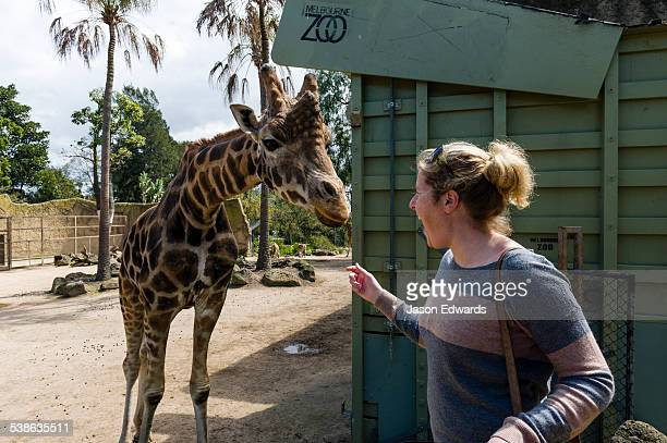 A Giraffe uses its long tongue to take a carrot from the hand of a tourist at a zoo.