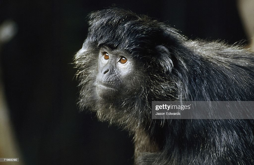Melbourne Zoo, Victoria, Australia. Facial portrait of a silvered leaf monkey or silver langur. : Stock Photo